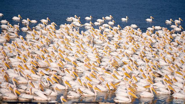 Pelicans Pelicans Pelicans!