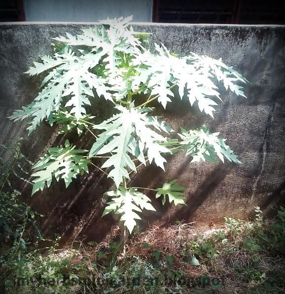 pokok betik atau papaya