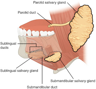 Positions of salivary glands in mouth, Parotid glands, Submaxillary glands, sublingual glands