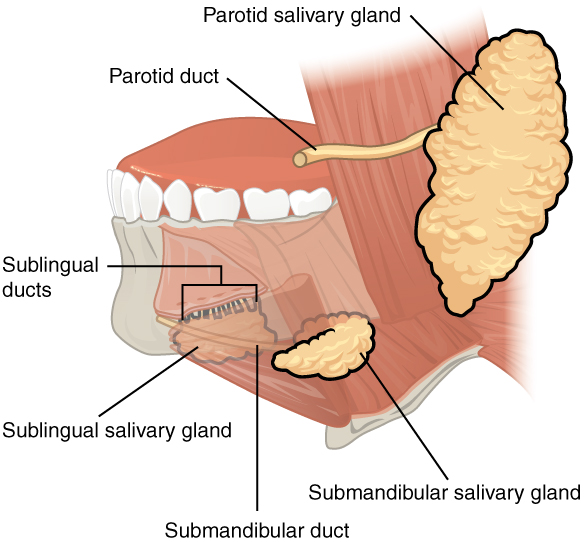 Salivary Glands and types of Salivary Glands