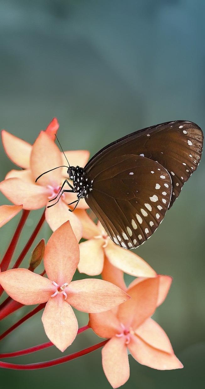 Euploea core butterfly.