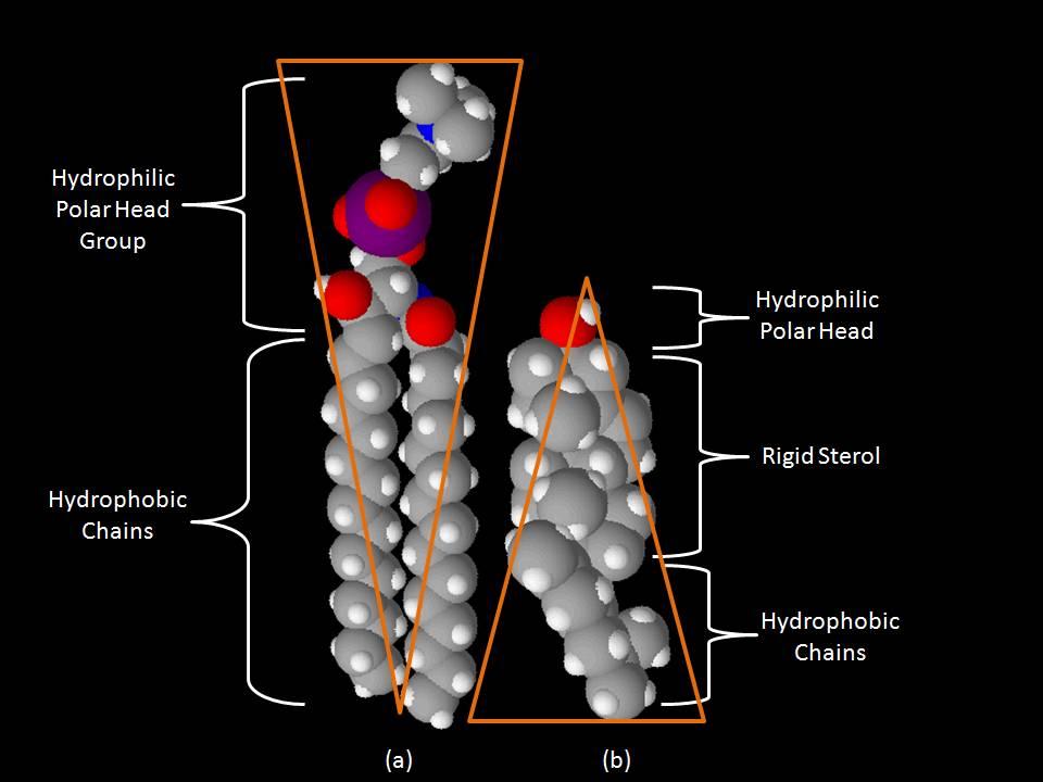 organisation phospholipide in biomembran