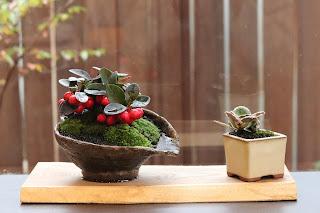 耳付きの板に乗ったゴールテリアの盆栽とフイリユキノシタのミニ盆栽