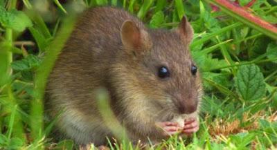 Rat Plague in Australia Unsettles Farmers