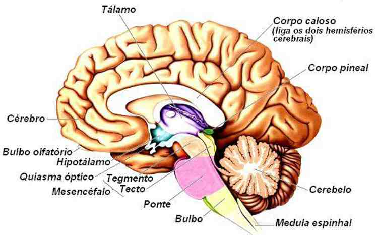 Dibujo De Cerebro Todas Sus Partes