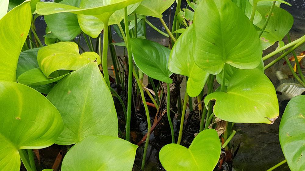 ลำต้นอยู่ใต้น้ำของต้นพัดโบกน้ำ