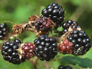 Bramble fruit images wallpaper