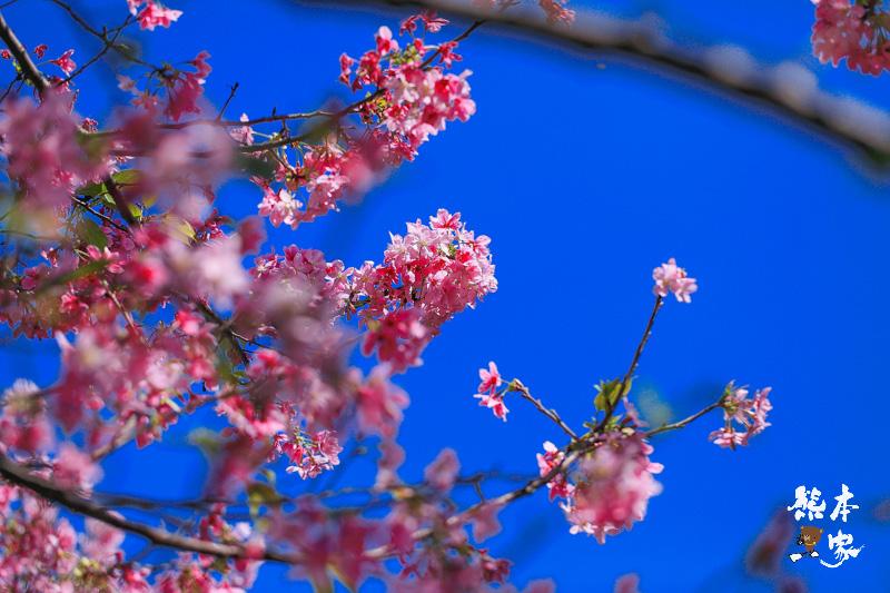 土城希望之河廣場櫻花|貨饒拱橋旁櫻花|公館溝櫻花林|土城貨饒里櫻花|新北市櫻花季