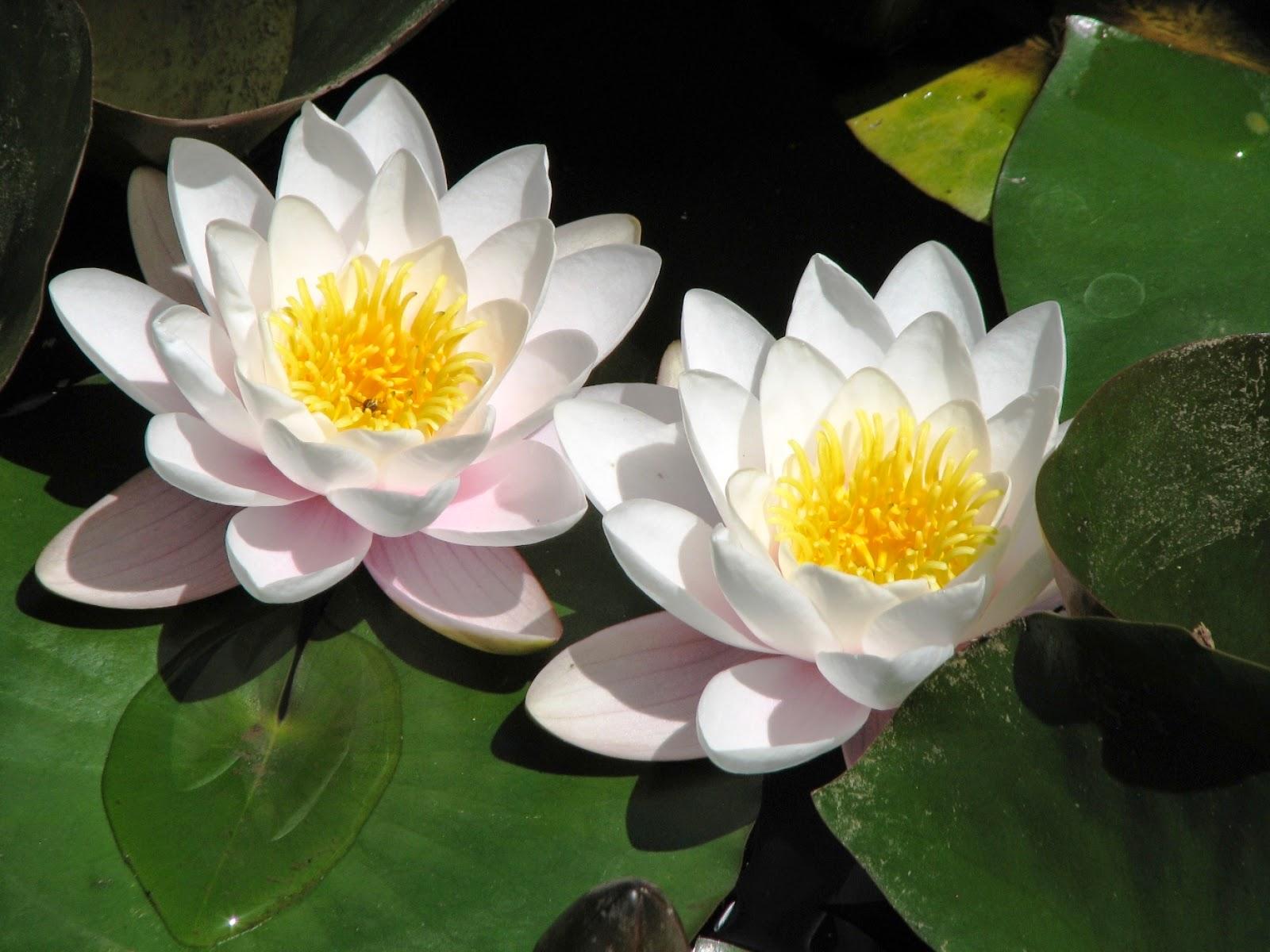 ERAN FLORES DE LOTO Lotus_cicegi