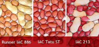 Variedades de amendoim