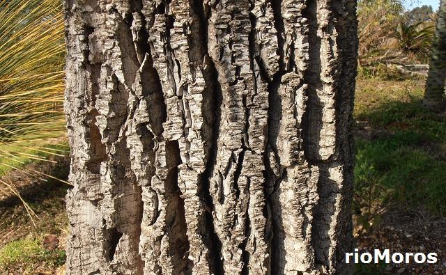 Tallo de DASILIRION de hojas grandes Nolina longifolia