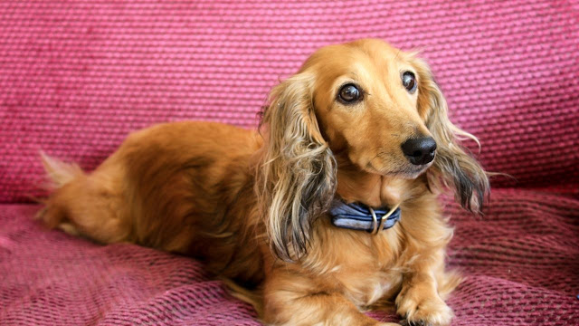 Personality and Temperament Dachsund