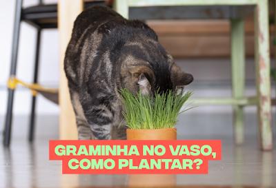 Graminha no vaso, como plantar?