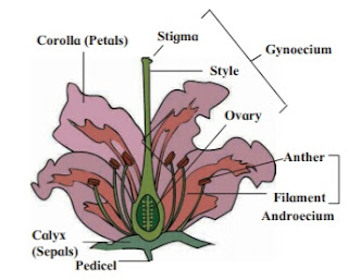 Flower with its sexual reproductive   organs