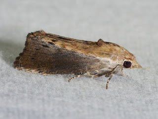 The greater wax moth