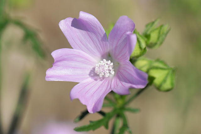 light purple mallow flower