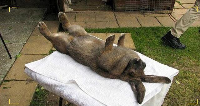 ماذا يحدث عندما تضع أرنب على ظهره - شاهد وقل سبحان الله !
