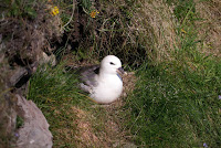 Northern Fulmar on nest – Shetland, Scotland – June 2013 – photo by rodtuk