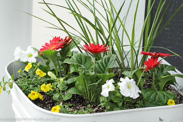 gerber daisies, spikes and pentunias make the perfect potted combination