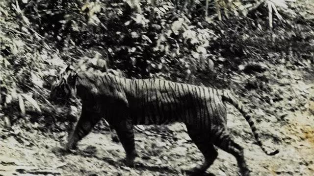 Harimau Jawa masih belum punah?