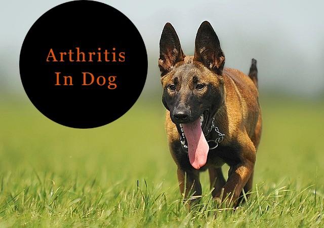 Arthritis In Dog