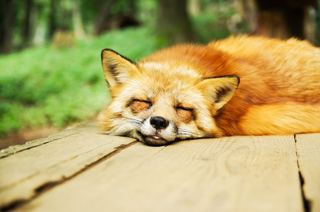 face of sleeping fox facing you