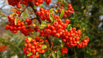 HD Wallpaper Red, Firecrackers, Berries, Leaves, Branches