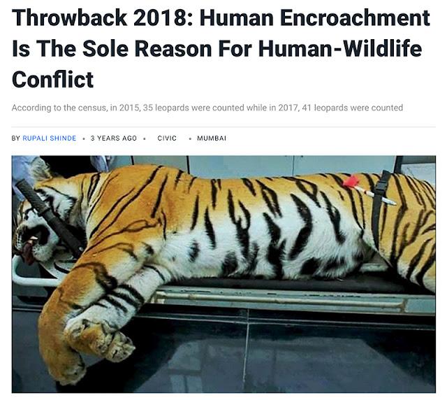tiger sanjay gandhi national park mumbai borivili