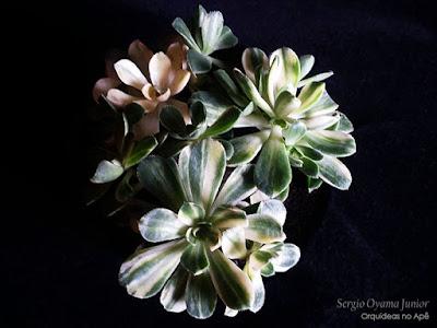 Suculenta Aeonium castello-paivae variegata