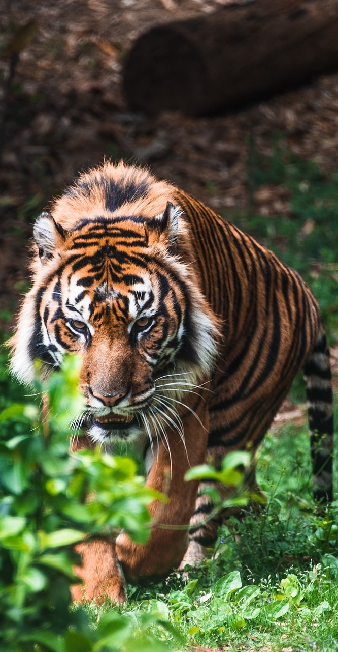 Picture of a tiger.