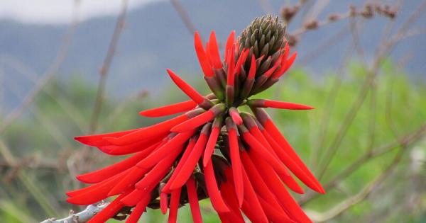 Bunga Mulungu