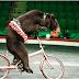 ΕΝΑ ΚΑΛΟ ΒΗΜΑ! Τσίρκο άφησε 4 αρκούδες ελεύθερες