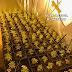 Incautan 331 plantas de marihuana en Nambroca