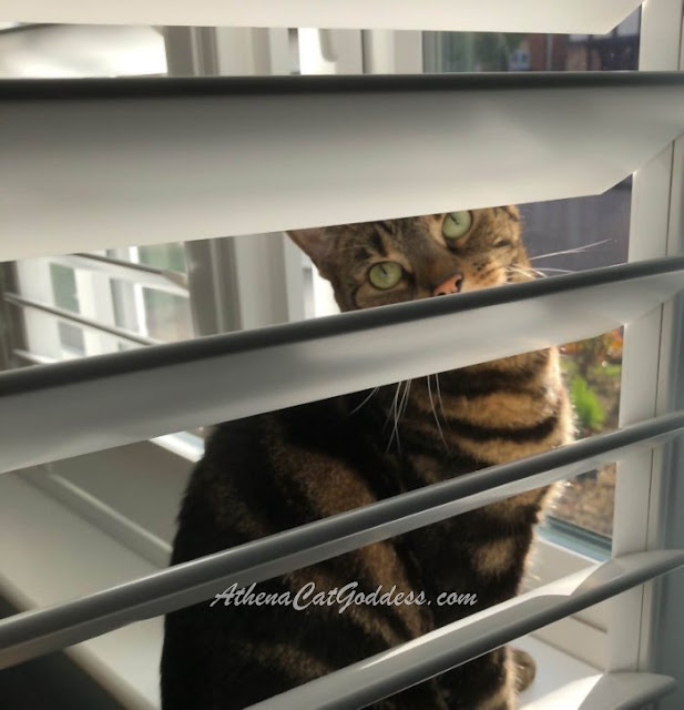 cat peeping through window shutters