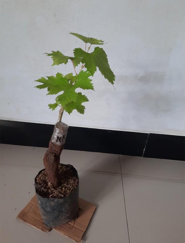 Bibit Anggur Import Ninel Garansi Valid 100 Banten