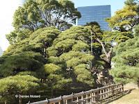 300-year old pine, view from the path - Hama-Rikyu Garden, Tokyo, Japan