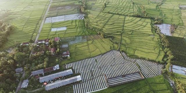 Keindahan persawahan desa Jambewangi, Kecamatan Sempu, Banyuwangi.