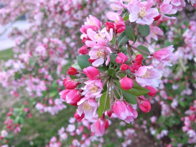 Jenny Steffens Hobick Cherry Blossom Memories Re Post