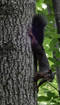 Black squirrel in bottomland riparian forest