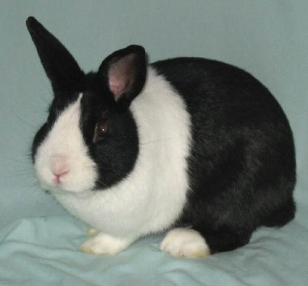 Dutch Rabbit Characteristics & Full Breed Information | Modern