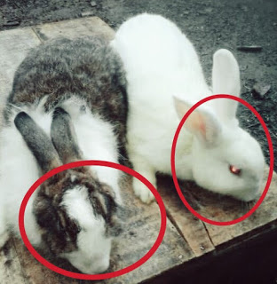 kelinci jantan memiliki bentuk  seperti balok kotak  lonjong