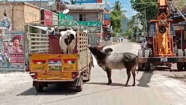 प्रेमी ने अपनी जान दाव पर लगा कर हमसफर लक्ष्मी गाय को जाने से रोका