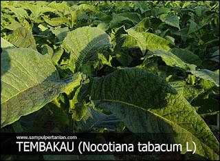 PESTISIDA NABATI Bahan Tembakau (Nocotiana tabacum L)
