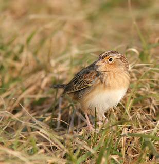 Grasshopper Sparrow identification
