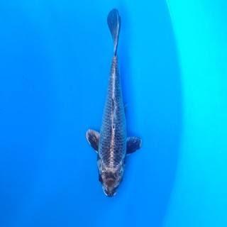 Ikan Koi Nezu Ogon