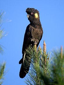 https://en.wikipedia.org/wiki/Yellow-tailed_black_cockatoo