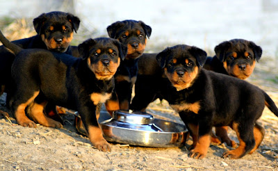 Rottweiler feeding tips