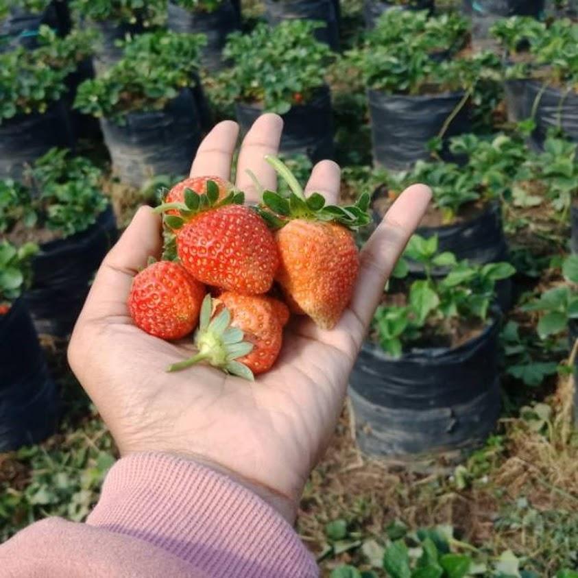 Bibit strawberry merlan Bau-Bau