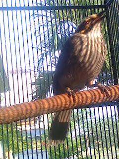 Burung Cucak Rowo -  Penanganan Burung Cucak Rowo yang Drop - Penangkaran Burung Cucak Rowo