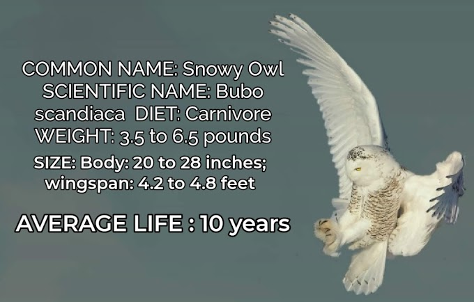 Facts About Snowy Owl Bird